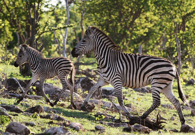 What Janet the Zebra Taught Scientists About Migration