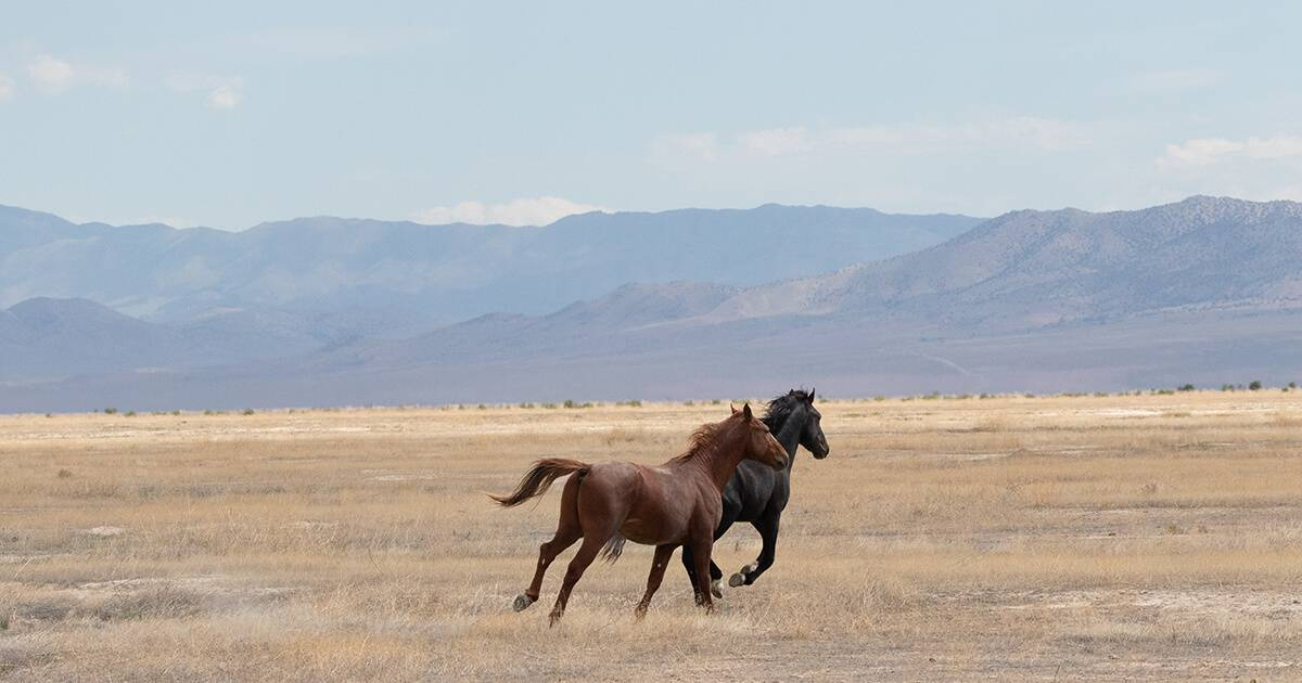 Horses of the Onaqui Mountains in Utah. Wild Horses pbs rewire
