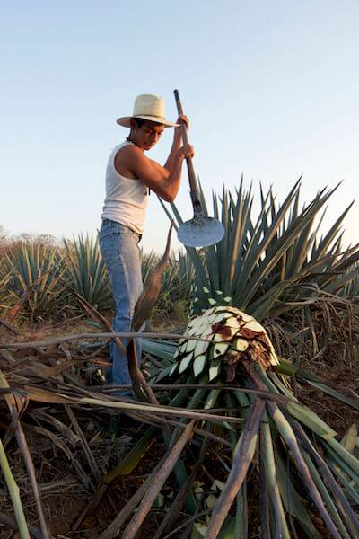 A young jimador cuts down a blue agave plant, the essential ingrediant of Mexico's legendary tequila. Visit Mexico pbs rewire