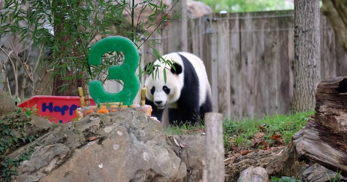 A panda walking through its habitat. Panda Conservation pbs rewire