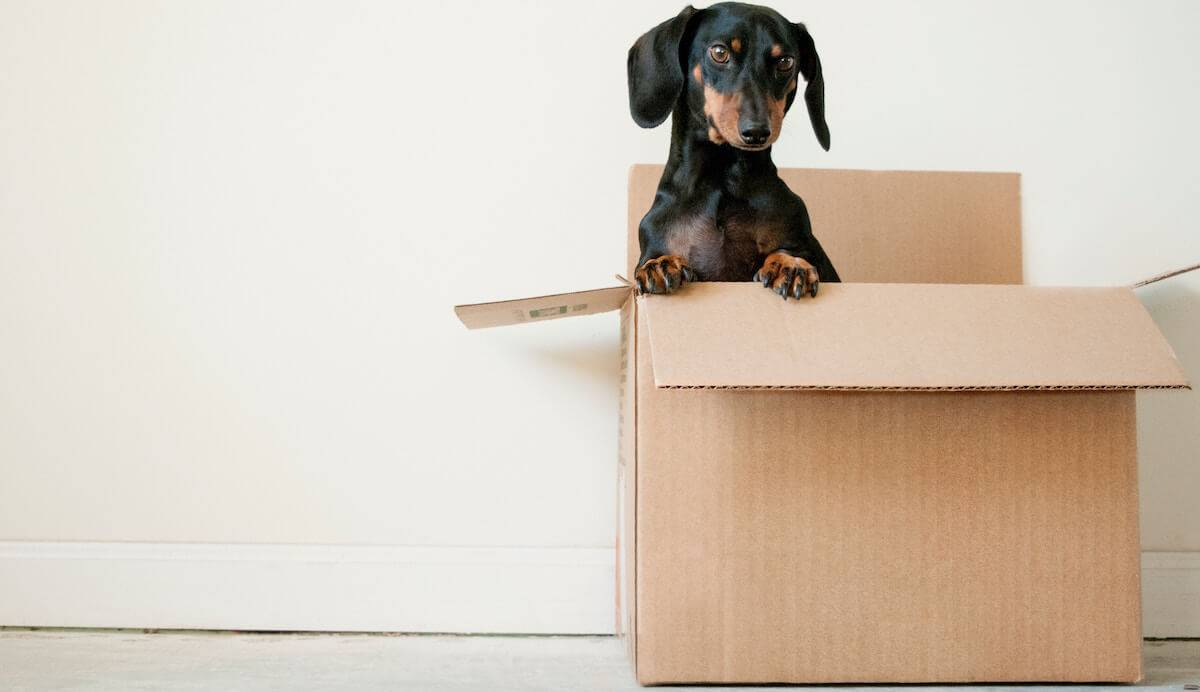Cute black and brown dog peeking out of a moving box. PBS Rewire