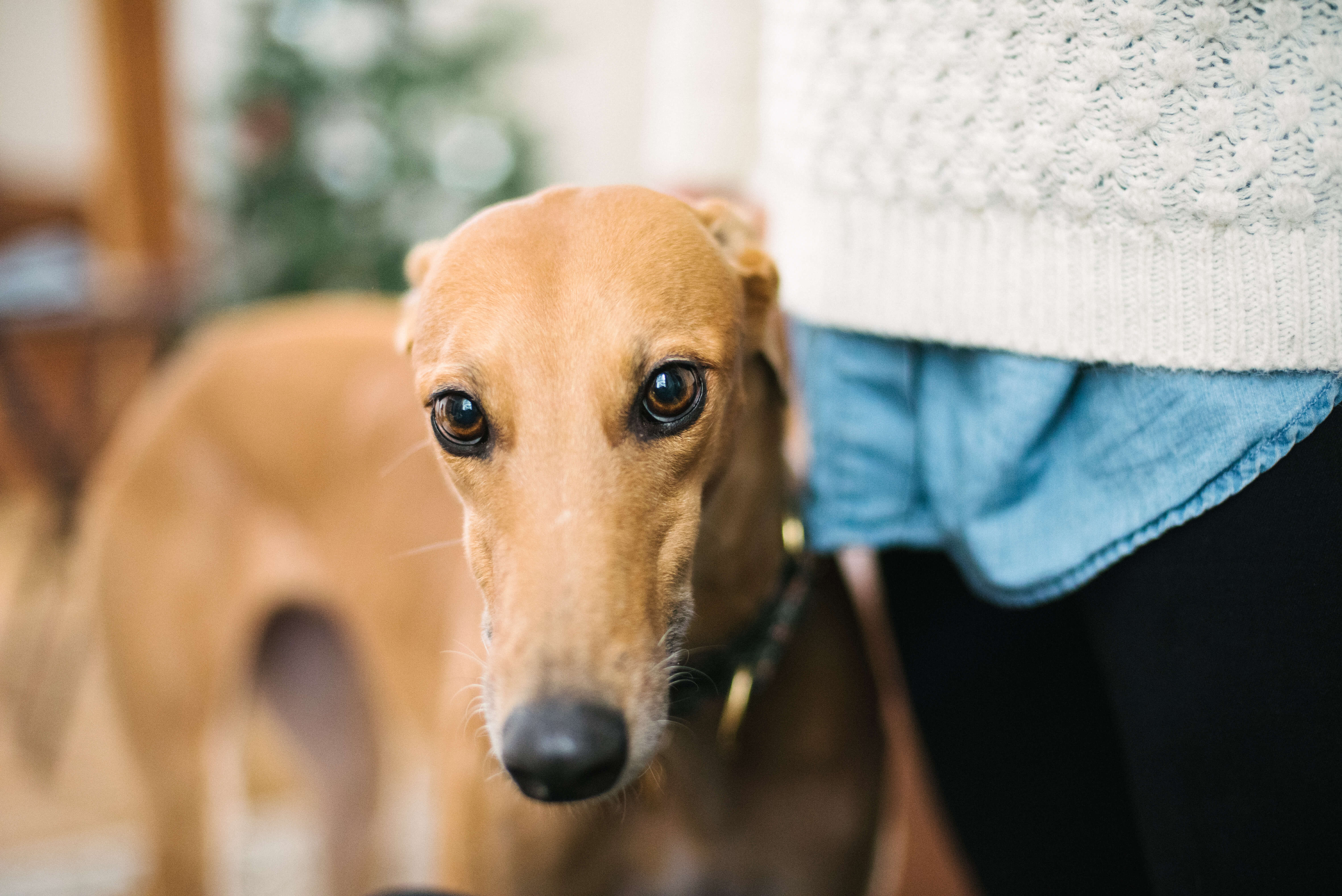 Photo of a fawn-colored greyhound. Rewire PBS Living Greyhound