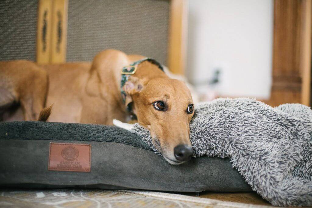 Photo of a fawn-colored greyhound laying in a dog bed, looking off camera. Rewire PBS Living Greyhound