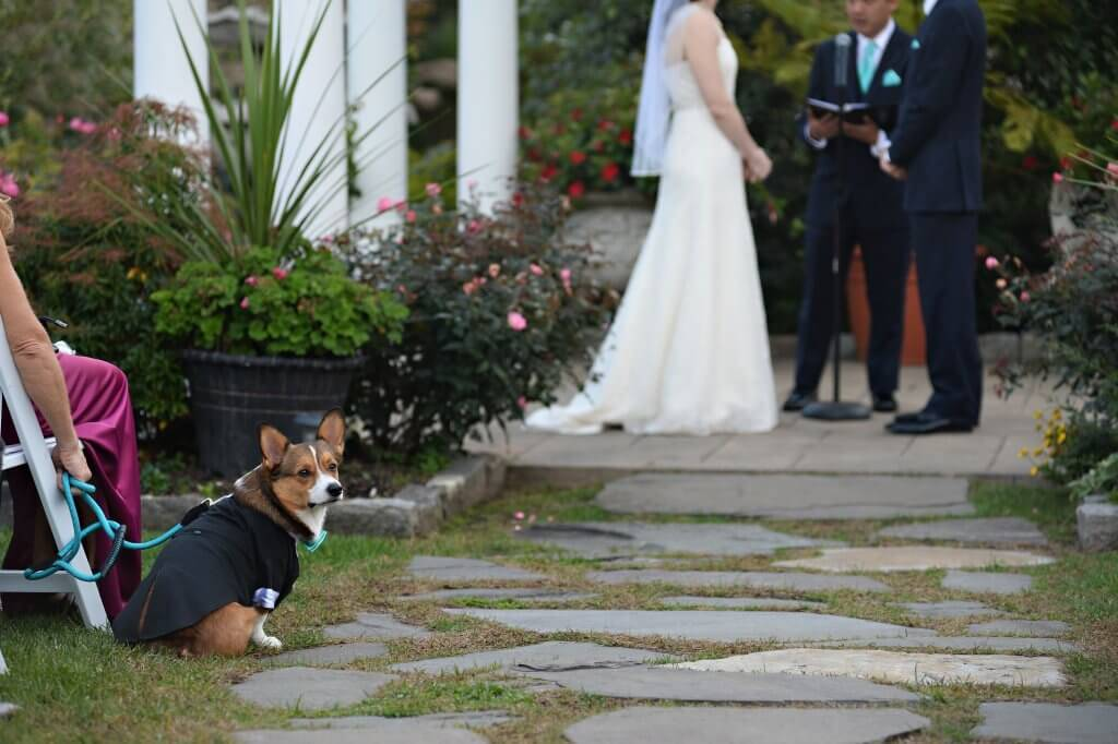 Chrisanne Grise's Corgi, Murray, sits in the audience during Gris's wedding. Dog of Honor pbs rewire